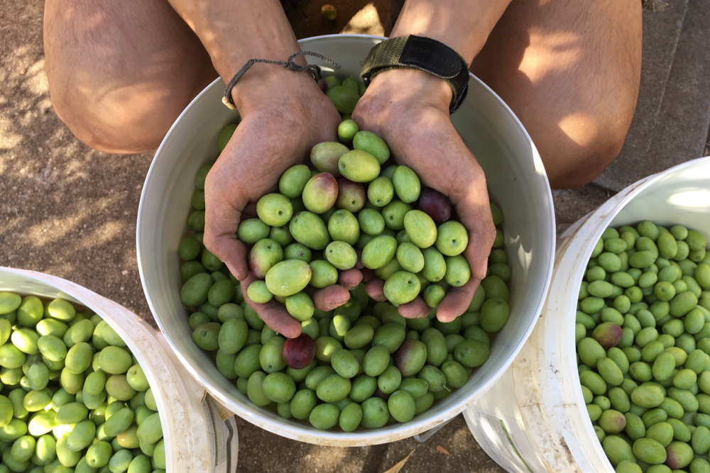 Foraged olives, picked and ready to be cured.