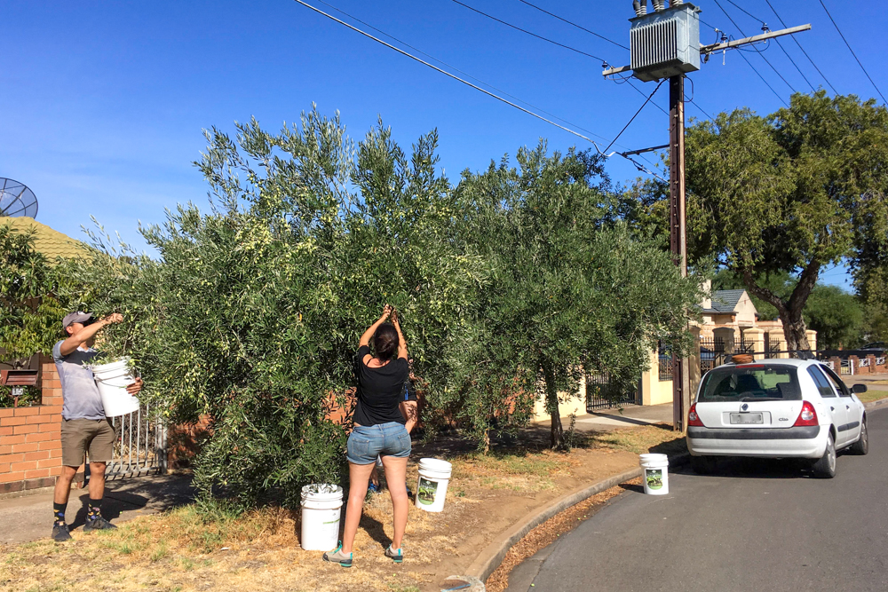 Isa and Toon helping to pick street olive trees.