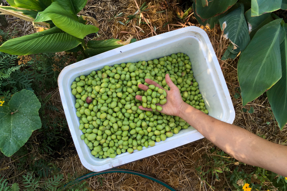 Olives being rinsed for further soaking