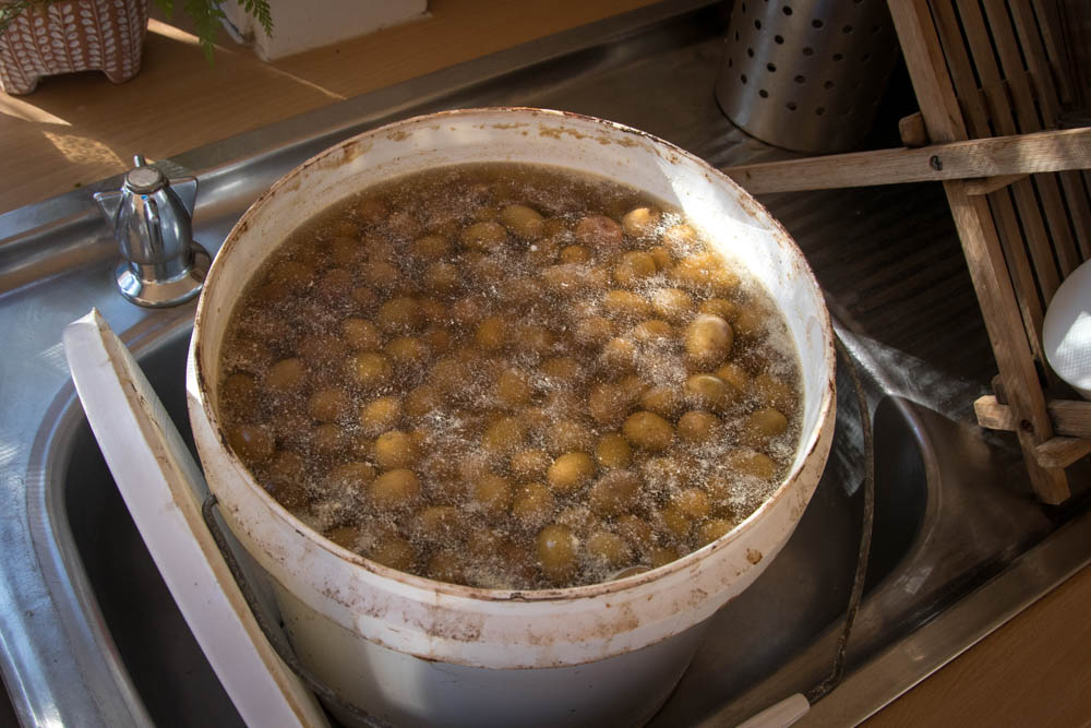 Olives in brine for curing.