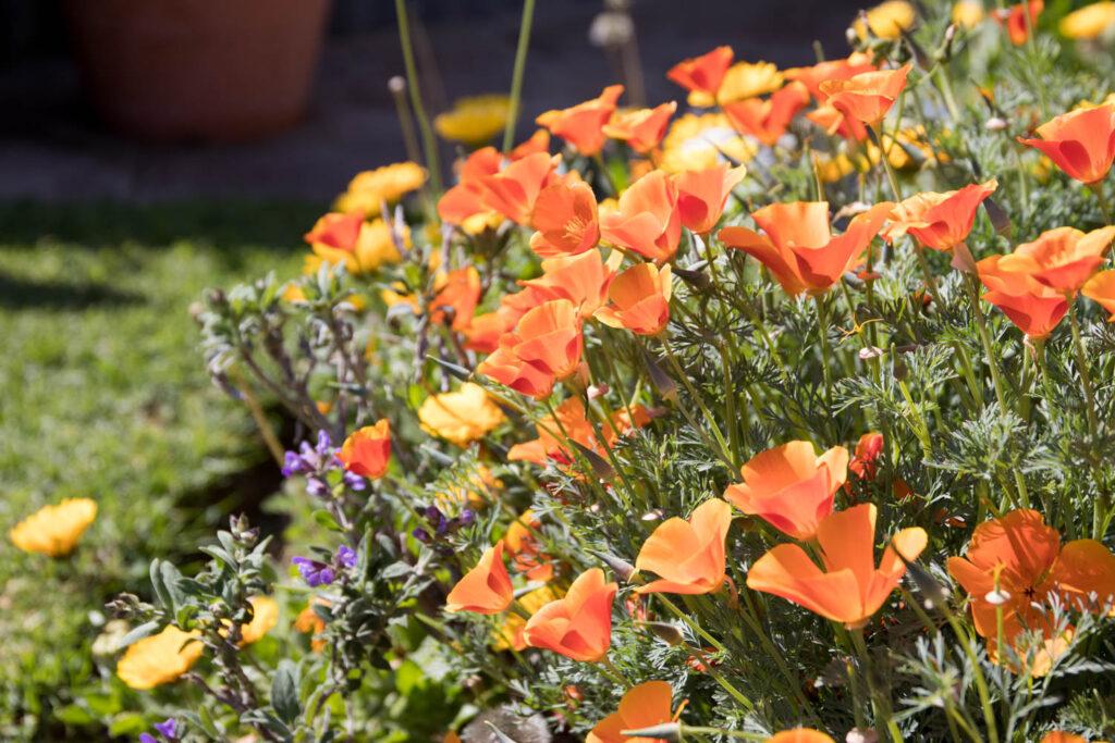 California poppies in Patrizia's herb garden.