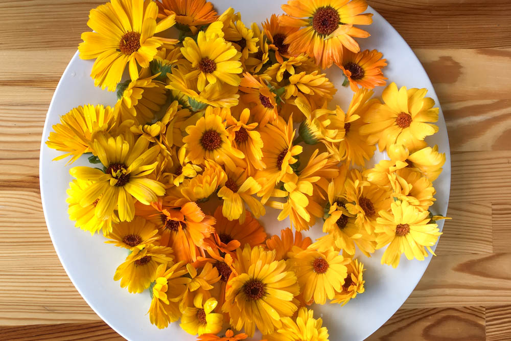Calendula flowers cut and ready to dry