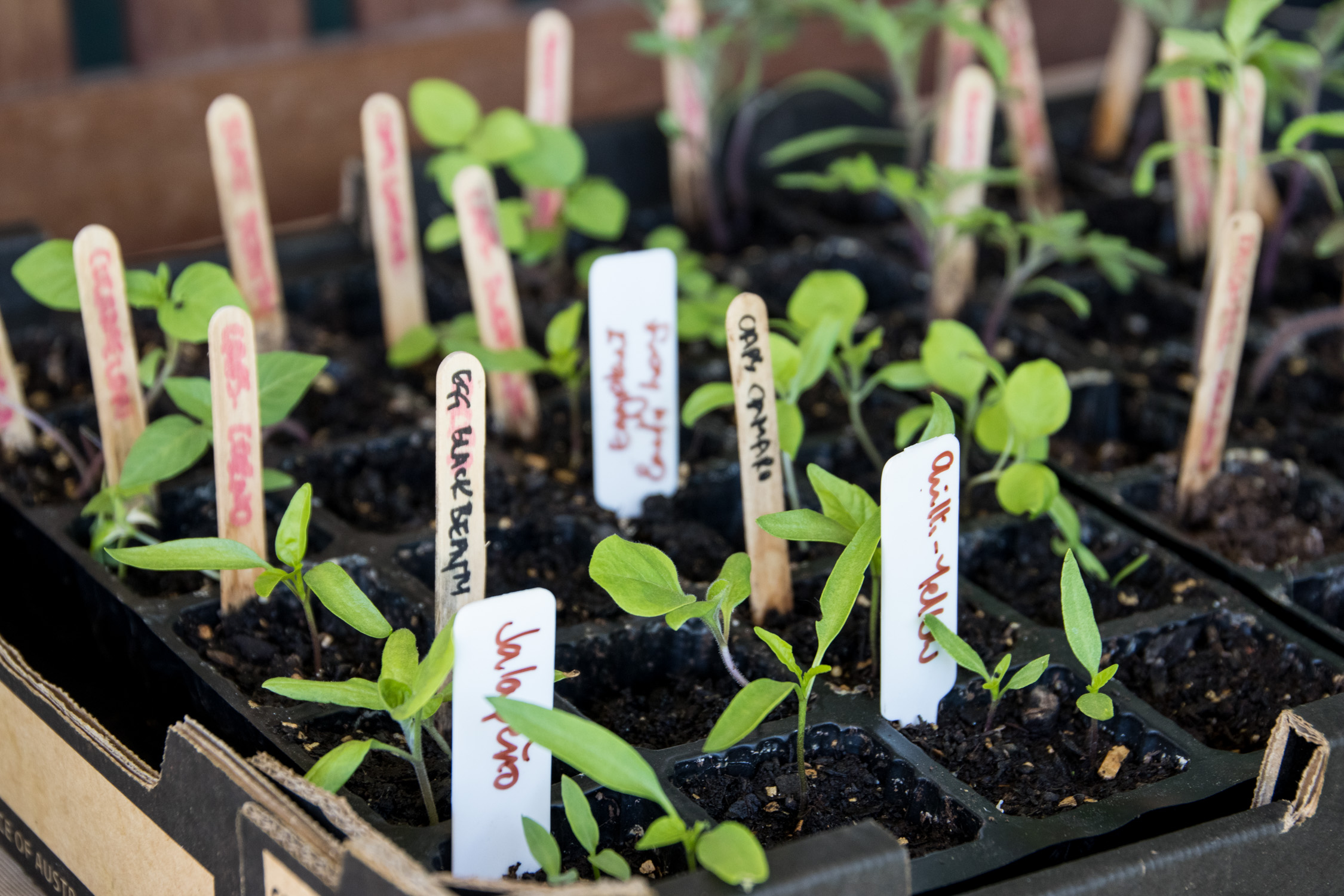 Baby veggie seedlings in a tray, ready to plant out.